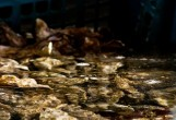 Huîtres Papillon - Sortie de Vivier