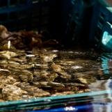 Huîtres en vivier d'eau de mer réfrigérée