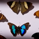 Focus papillon